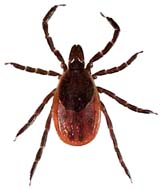 Image result for blacklegged tick